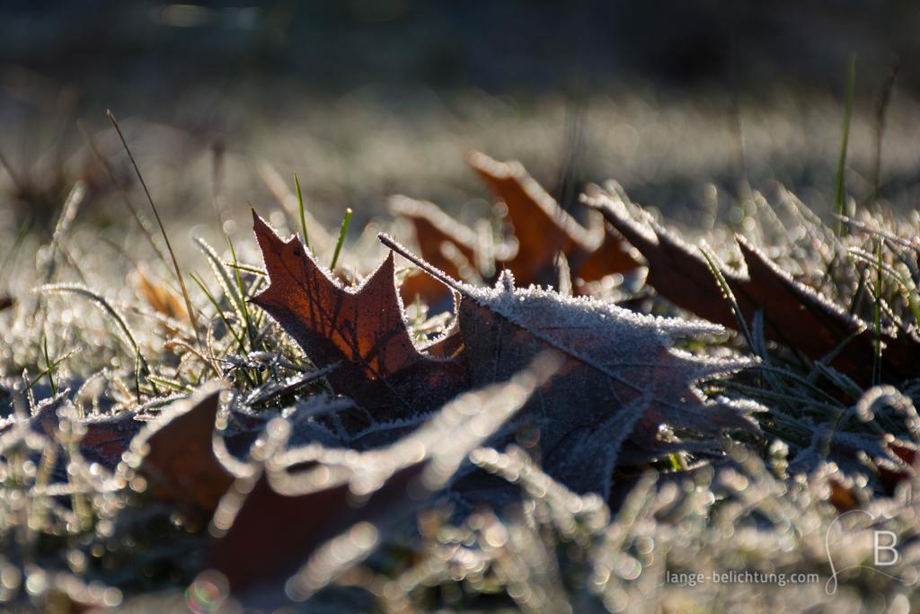 Einige Ahornblätter liegen auf der Wiese und sind überzogen von feinen weißen Raureif-Kristallen. Durch die Sonne glitzern sie.