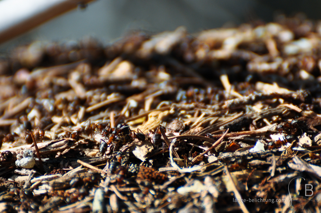 Auf einem Ameisenhügel im Wald wuseln unzählige Ameisen herum. Im unscharfen Hintergrund erkennt man, dass ein Stück Holz auf dem Ameisenhügel liegt.