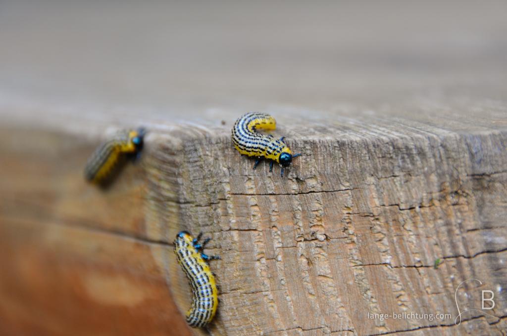 Drei Blattwespen Raupen kriechen auf einem Holzstück herum.