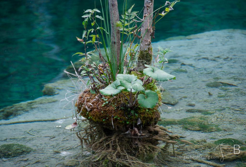 Mitten in einem kristallklaren See wächst ein Strauch. Die Wurzeln sieht man am Grund des Sees wachsen. Am Fuß des Strauches wachsen Moose, Gräser und andere kleine Pflanzen.