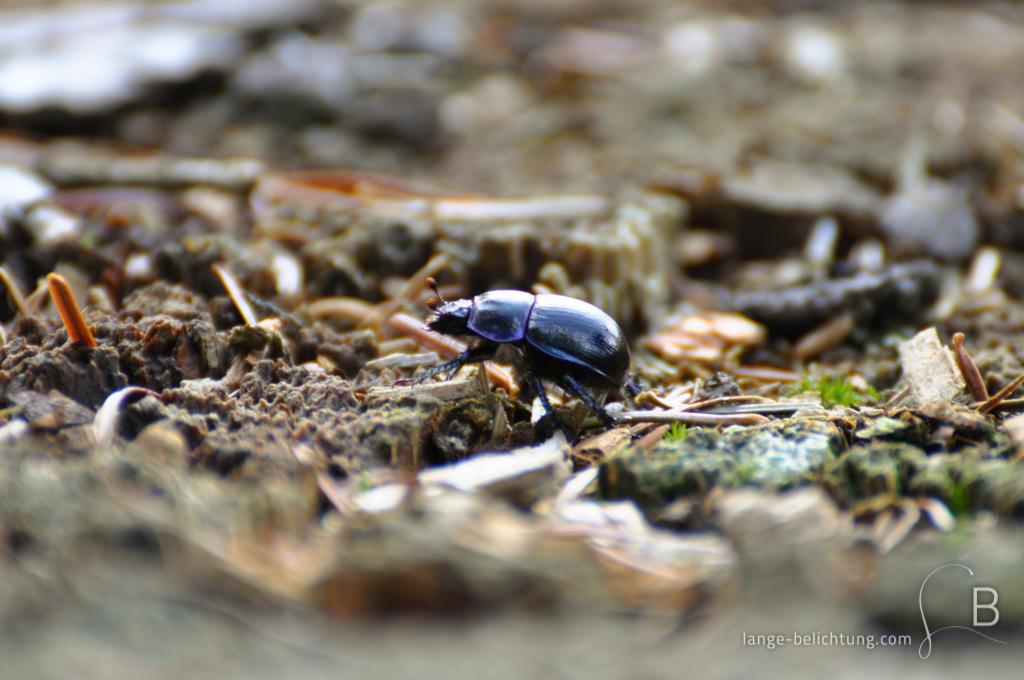 Ein schwarzer Mistkäfer, der bläulich schimmert läuft über Holzsplitter, Sand und Waldboden. Der Vordergrund under Hintergrund zeichnen ein starkes Bokeh.