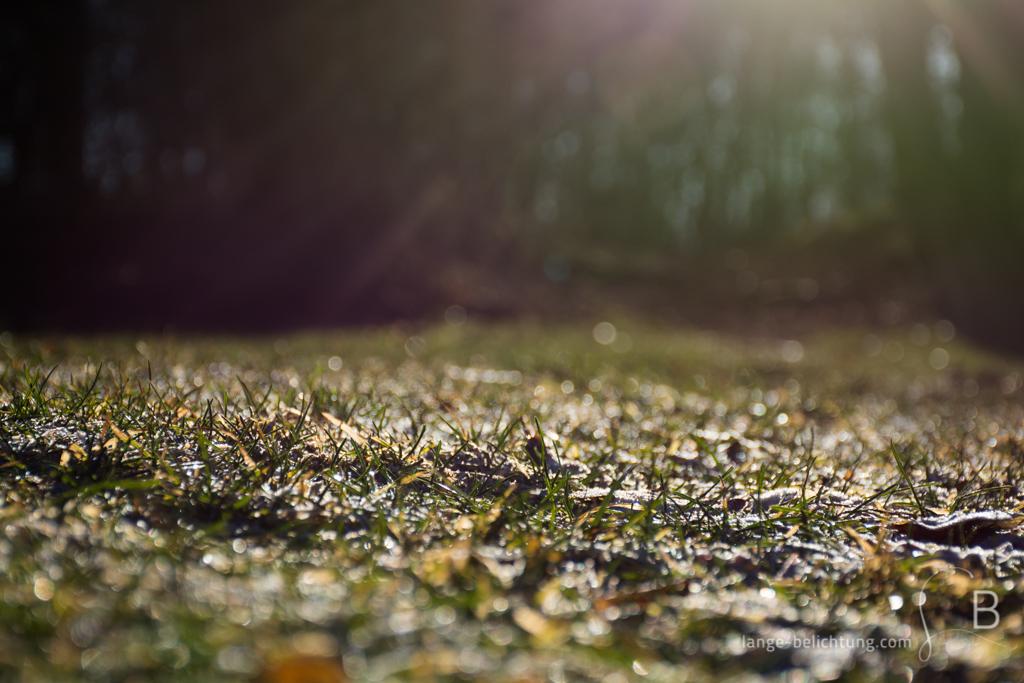 Die Wiese und das Gras sind feucht von der Nacht. Die Wintersonne wärmt nur noch ein bisschen. Durch die Gegenlichtaufnahme wird eine schöne und warme Linsenreflexion erzeugt.