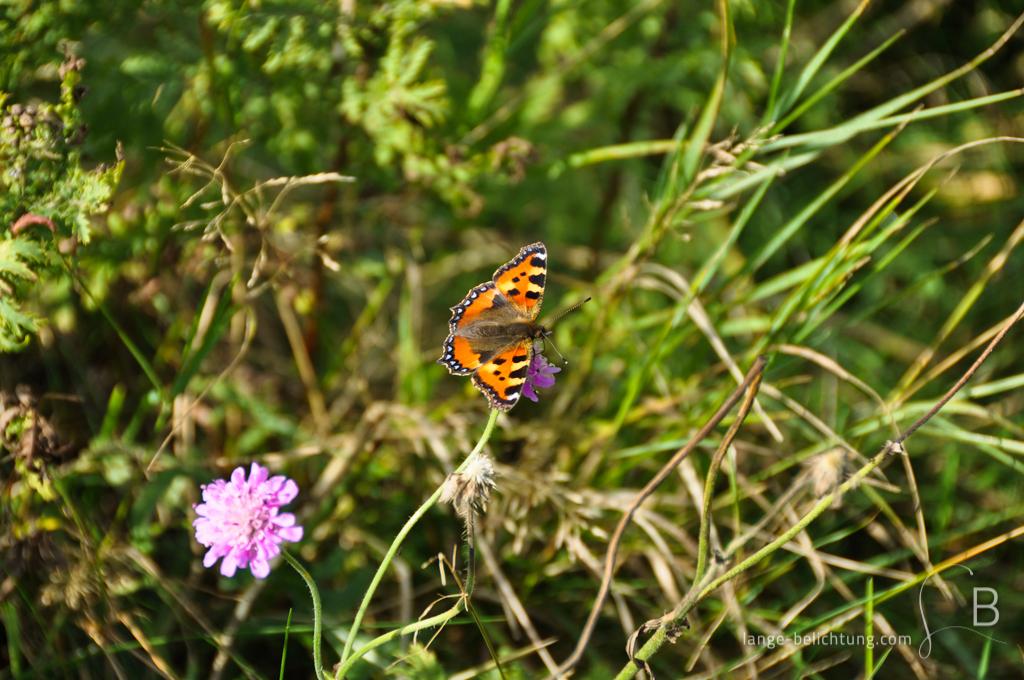 Ein Schmetterling (kleiner Fuchs) sitzt auf einer violetten Blüte und saugt Blütennektar mit grünen Gestrüpp.
