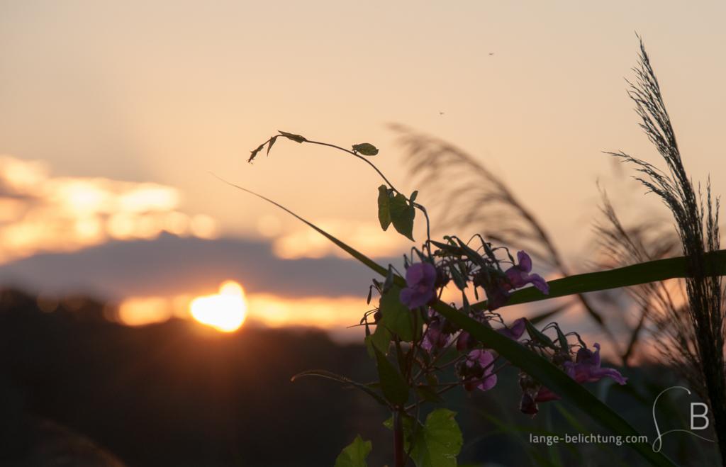 Am See geht den Sonne unter. Im Vordergrund sieht man Schilf und einige violette Blüten einer Pflanze.