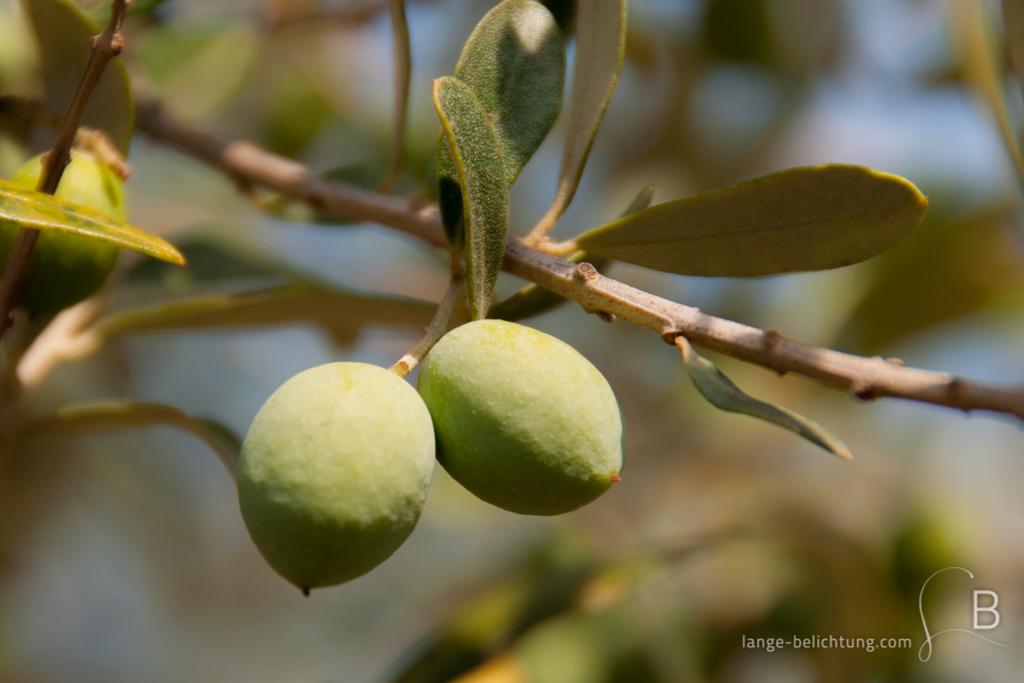 Zwei grüne Oliven wachsen noch an einem Zweig. Im Hintergrund sieht man noch weitere unreife Oliven am Baum hängen.