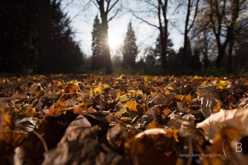 Der Boden ist bedeckt mit Laub der umherstehenden Ahornbäume. Durch die Tannen scheint die Sonne, während das Laub in goldenen Herbstfarben am Boden leuchtet.