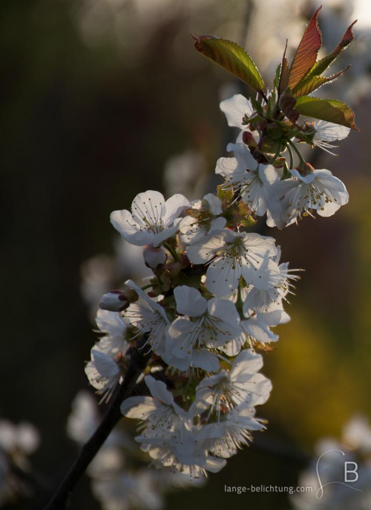 Die weißen Blüten eines kleinen Baumes blühen, während an der Spitze des Astes schon die ersten kleinen rot grün gefärbten Blätter zu sehen sind.