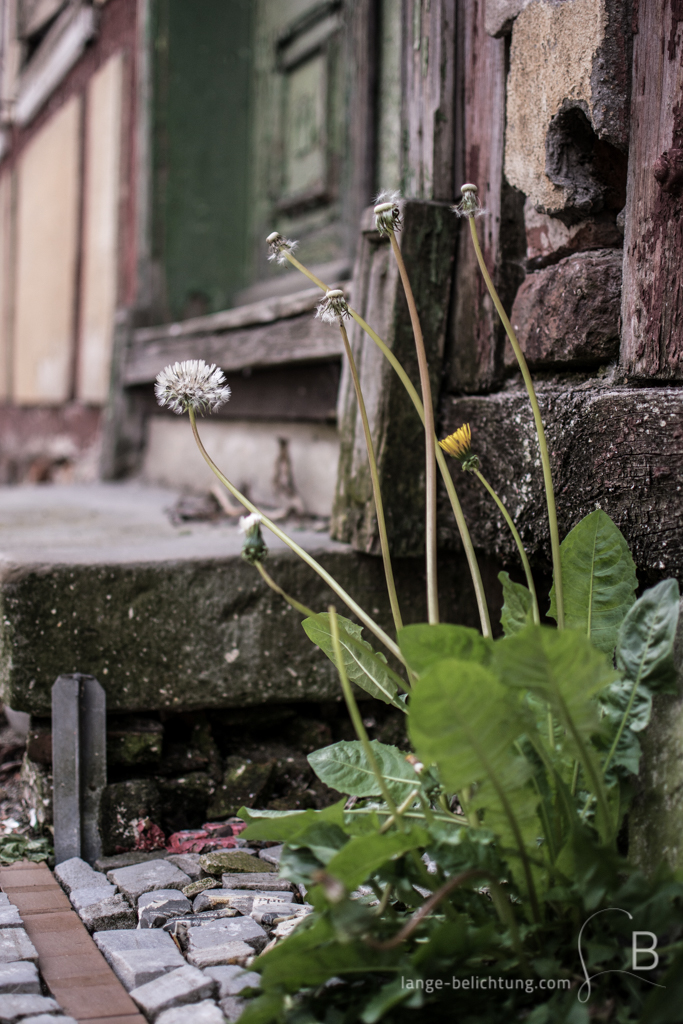 Neben einer alten Treppe zu einem Fachwerkhaus wächst Löwenzahn und bahnt sich seinen Weg durch den Gehweg.