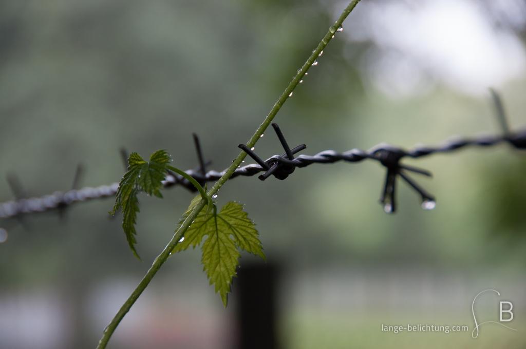 Ein junger Hopfenzweig wächst über einen Stacheldraht-Zaun hinaus. Am Hopfen und am Stacheldraht hängen Regentropfen.
