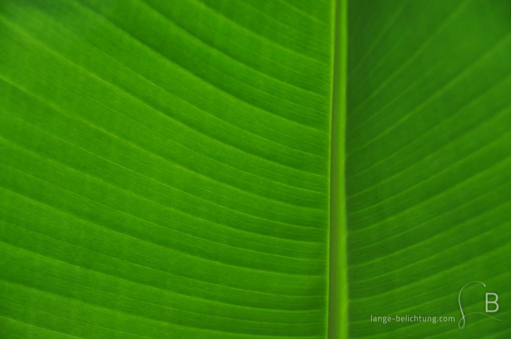 Ein von hinten beleuchtetes Palmenblatt lässt in diesem grünen Bild die feinen Adern des Blattes erkennen und lässt das Grün in vielen verschiedenen Nuancen erscheinen.